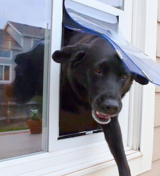 black lab walking through a hale pet door set in a white door with glass panels